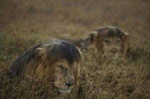 おはようございます!最近天気悪いですね( ゚д゚)雨の日のライオン...写真