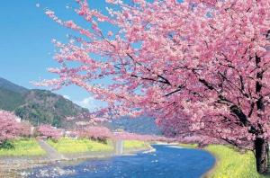 桜も満開ですね